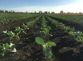 """""""Lucky Cabbage"""" 888 Clarendon Road, Clarendon, Qld 4311"""